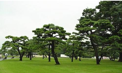 广西北海罗汉松种植基地网站,提供北海罗汉松盆景树苗图片出口和价格